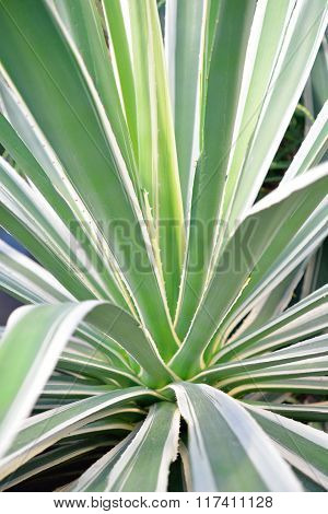 Green Aloe Vera plant with spikes close-up
