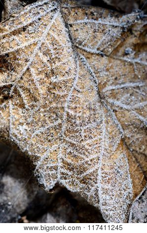 Hoar-frost on a leaf with white veins