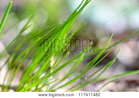 Lush green grass sprouting up in spring