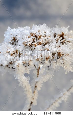 Dry plant covered with hoar-frost and snow in winter
