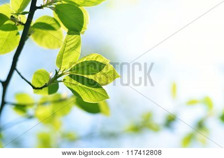 Green Tree Branch With New Leaves Close-up In Spring