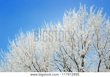hoar-frost on trees in winter against blue sky