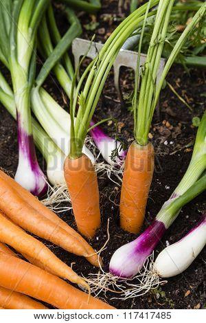 Harvest Of Vegetables In A Garden