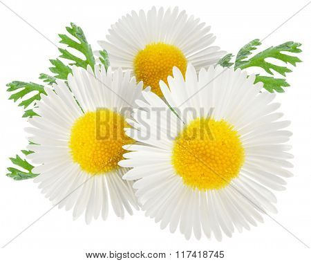 Chamomile with leaves on a white background. Clipping path.