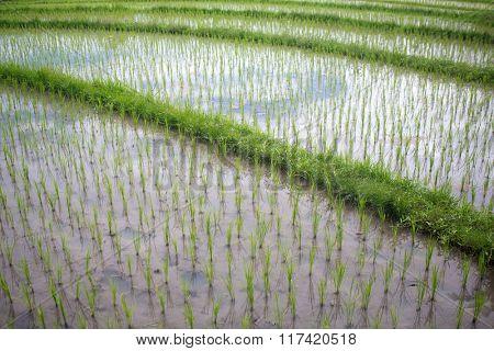 Terraced rice field in season