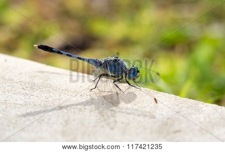 blue dragonfly close up