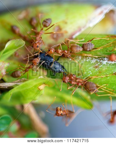 Ants eating beetle on the leaf