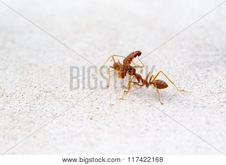 Red ant lifting of large pieces