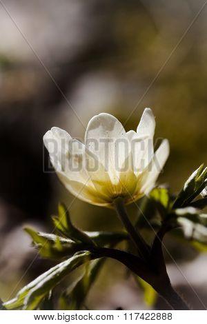 a thimbleweed, wood anemone or anemone nemorosa