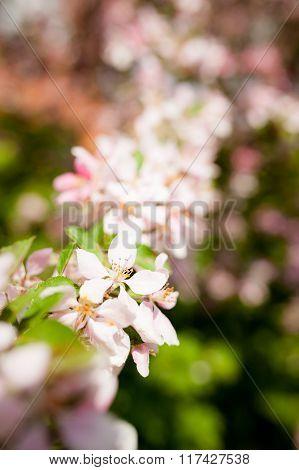 Apple tree flowers in gardern