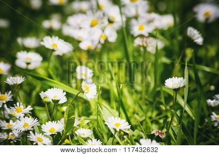 White Daisies Field