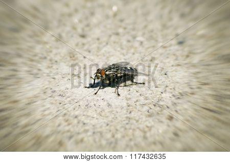 Single Black Fly
