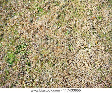 Tanned Ryegrass