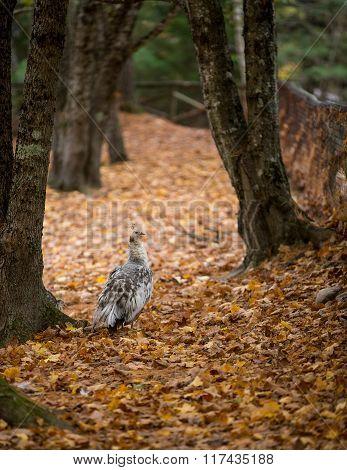 Peafowl In Leaves
