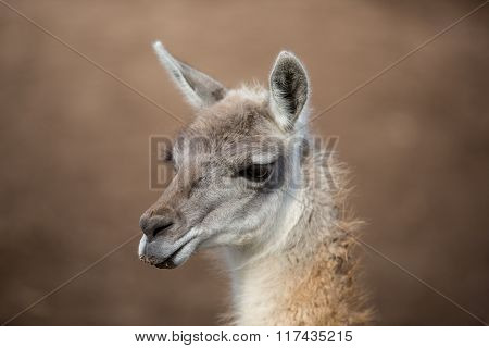 Headshot Of An Alpaca