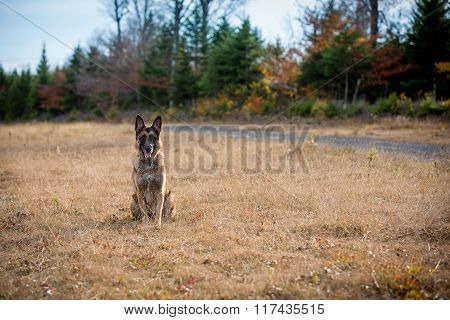 German Shepherd Dog Sitting Down In A Field