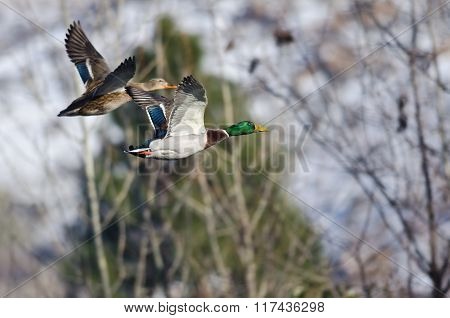 Pair Of Mallard Ducks Flying Past The Snow Filled Winter Woods
