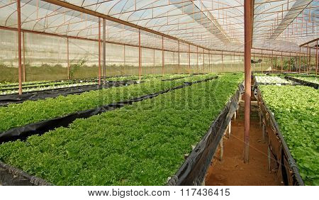 Organic Vegetable Growing In Cultivated Greenhouse