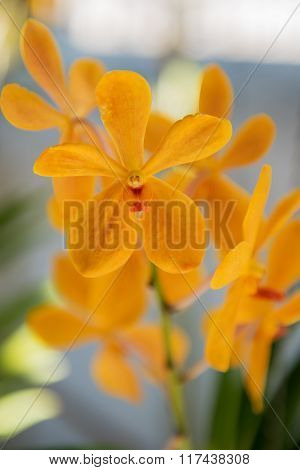 Beautiful yellow orchids flower tree.