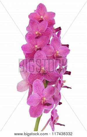 Beautiful pink orchid flower isolated on white.