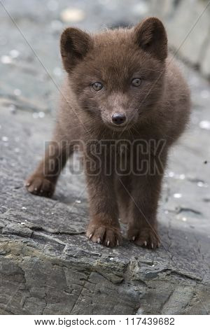Commander Blue Fox Pup Who Stands On A Cliff Sunny Summer Day