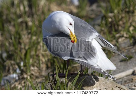 Glaucous-winged Gull Which Cleans Feathers Gull Standing On A Rock In The Colony