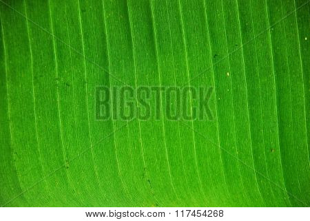 Texture of a green leaf of the plant on light