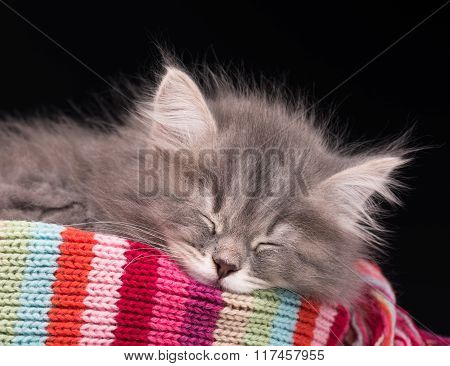 Asleep Fluffy Kitten