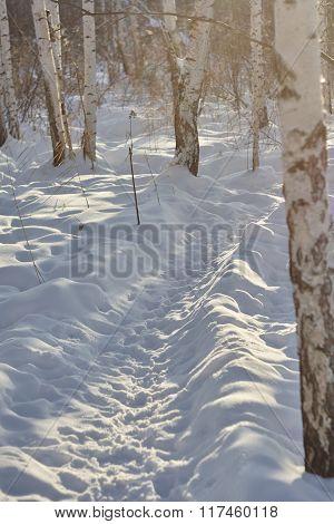 Wild boar path in snow Russian forest wild animals footprints wild nature