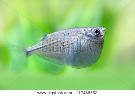 Flying heavily-keeled body fish. Gasteropelecus sternicla. Freshwater hatchetfishes. Green plants so