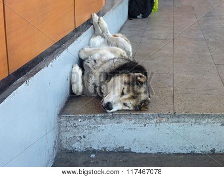 Big White Dog Sleeping At The Street