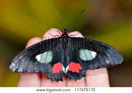 exotic butterfly in natural habitat (papilio anchisiades)