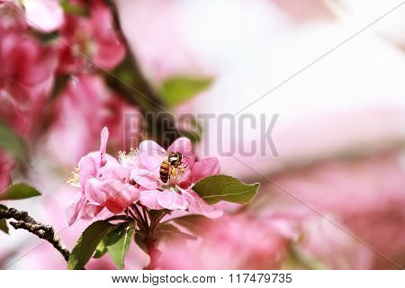 Honey Bee And Crab Apple Tree