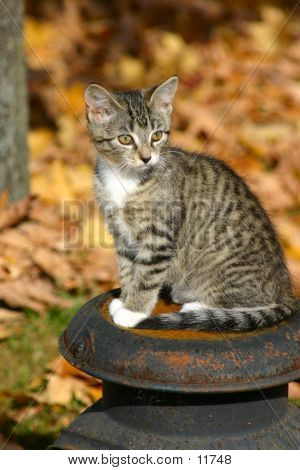 Kitten On A Milkcan