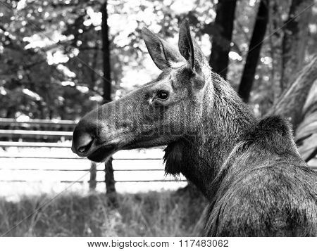Eurasian elk profile