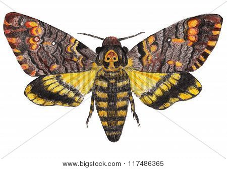 Death's-head moth on white isolated background
