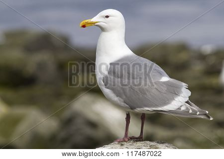Glaucous-winged Gull Is Sitting On A Rock By The Ocean