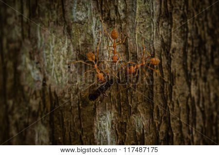 Three Weaver Ants Eating Insect