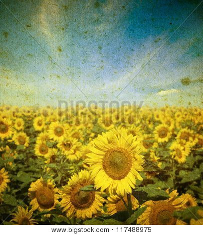 Field of sunflowers on a grunge background