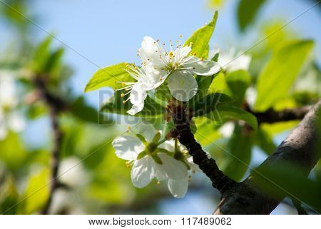 Flowers of the apple blossoms on a spring day
