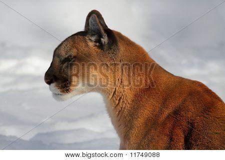 Mountain Lion Or Cougar