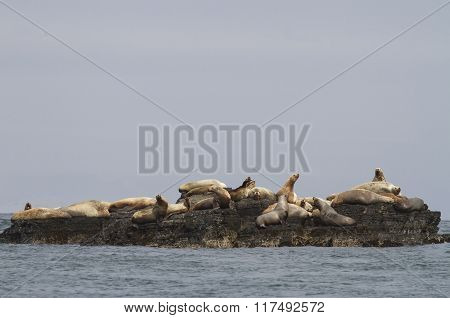 Steller Sea Lion Rookery On Cliffs Of The Island In The Pacific Ocean