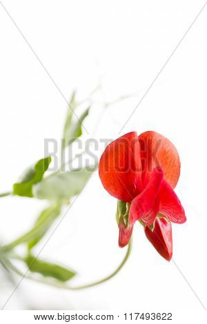 Vivid red sweet pea