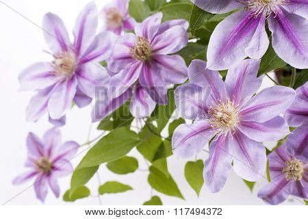 Several purple clematis flowers
