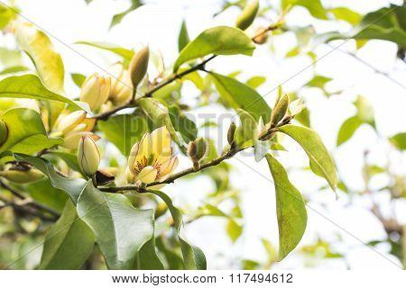 Banana shrub flower