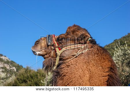 Portrait Of  Fighting Camel 1
