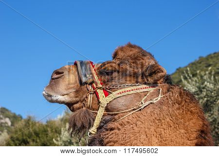 Portrait Fighting Camel