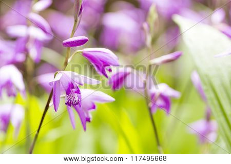 Purple urn orchid flowers