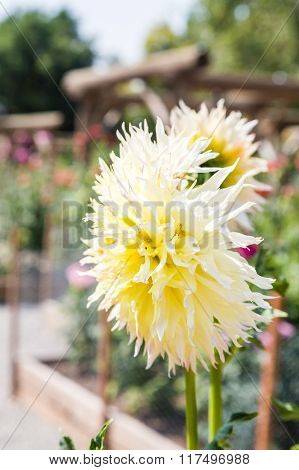 Yellow Zinnia In Garden