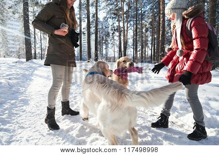 two golden retriever. dogs playing outdoors in winter. Two girls